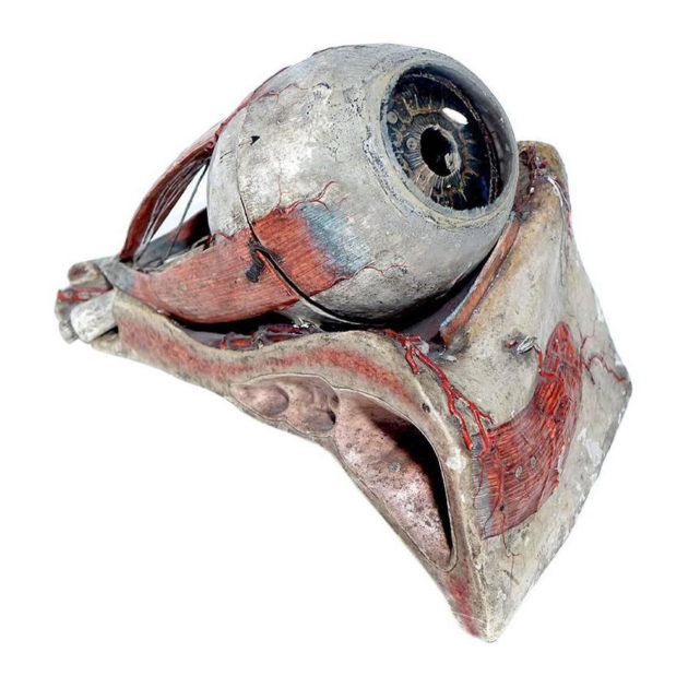 1800s Dr. Auzoux Anatomical Eye Model